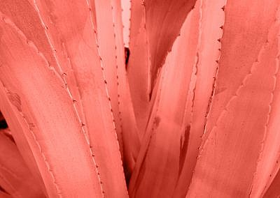 Agave leaves with thorn background in living coral color. Thorned agava close-up. Abstract cactus background.